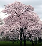 Hinterland Trading Japanese Yoshino Flowering Cherry 10 Seeds