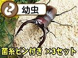 国産ノコギリクワガタ幼虫3匹+菌糸ビン3本(菌糸瓶)(E-800)セット [生体]