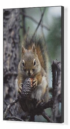 canvas-print-of-red-squirrel-tamiasciurus-hudsonicus-alcan-yukon-territory-canada-north