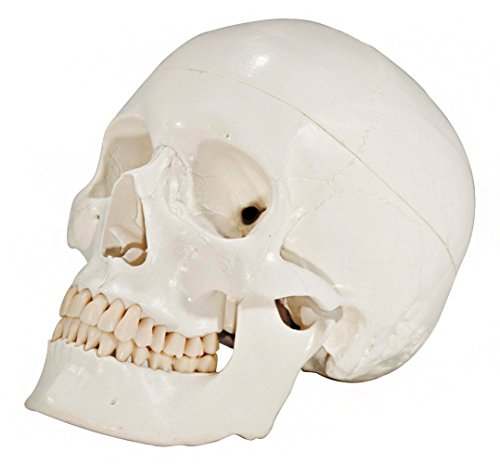 axis-scientific-anatomical-skull-replica-of-the-human-skull-with-removable-skull-cap-and-articulatin