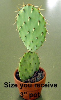 Prickly Pear Cactus - Opuntia - Great Houseplant - Easy