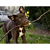 Pet Mutt Chocolate Labrador Mix Dog Chewing on a Stick Photographic Poster Print