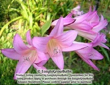 Crinadonna Lily (Amacrinum) - 1 robust bulb - 24+ cm (Crinum Bulbs compare prices)