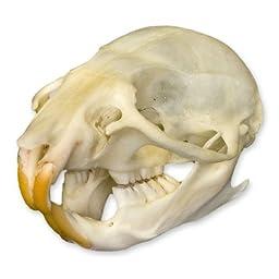 Rat Skull (Natural Bone Quality A)