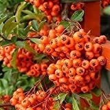 Pyracantha Orange Glow shrub plant 3' with cane in 3 litre pot. Evergreen