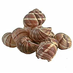 Escargot (Snail) Shells - Essential Pantry