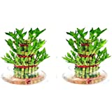 Green Plant Indoor 3 Layer Lucky Bamboo Plants (Set Of 2 PCS)
