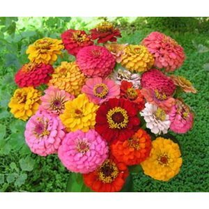 400+ Seeds Pumila Zinnia Flower MIXED COLORS