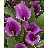 REGAL - Calla Lily Bulb - Beautiful purple calla lilies