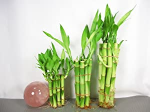 Live Lucky Bamboo Plant Set 4