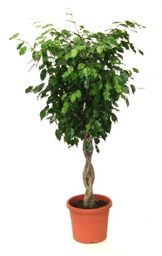 Seeds and Things 10 Seeds Weeping Fig Tree - Bonsai or House Plant)