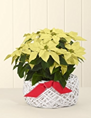 Contemporary Poinsettia Basket