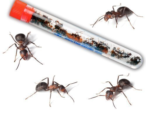 live-ant-farm-ants-shipped-now-ant-farm-kit-refill