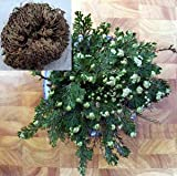 Rose of Jericho Resurrection Fern - Polypodium - Dinosaur Fern/Miracle Air Fern