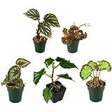 Begonia Bundle - 5 Plants