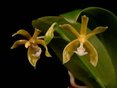 Phalaenopsis mannii var. aurea Species Orchid Plant (Yellow Form) [PHAL022]