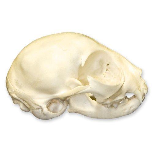 Domestic House Cat Skull
