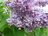 Syringa - Lilac Tree 'Katherine Havemeyer' in a 3 litre pot