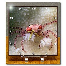 Cheap VWPics Underwater – Boxer Crab with Sea Anmones at the ends of its claws.(Lybia tesselata).Lembeh Straits, Indonesia – Desk Clocks (B007VSFNGU)