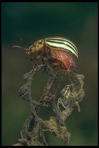 240031-colorado-potato-beetle-a4-photo-poster-print-10x8
