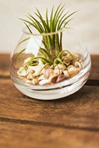 Hinterland Trading Air Plant Tillandsia Kit Glass Terrarium Round with Knobby Starfish and Seashells Great Little Houseplant