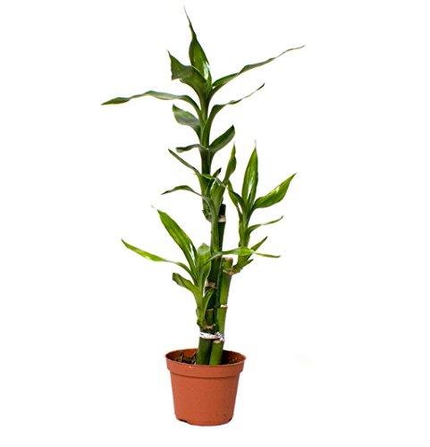 dracaena-plug-plants-mix-mini-plants-lucky-bamboo-easy-care-collection-houseplant-starter-set-ideal-