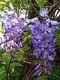 Climbing Plant- Wisteria Sinensis Prematura - LARGE 1.5M Tall Plant
