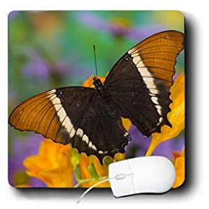 Danita Delimont - Butterflies - Tropical Butterfly, Black and Tan Page Butterfly - US48 DGU0483 - Darrell Gulin - MousePad (mp_95485_1)