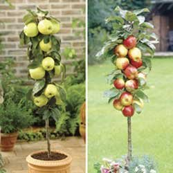 Apple Trees (Golden Delicious)