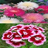 Sweet Sultan And Dianthus Winter Flower Seeds Pack By Seedscare India ( 2 Packets/40+ Seeds Each)