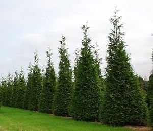 thuja-green-giant-evergreen-privacy-screen-low-maintenance-fast-growing-size-5-6-ft