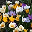 Crocus Species mixed flower bulbs x 100
