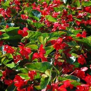 Begonia Wax Red - 5000 Seeds