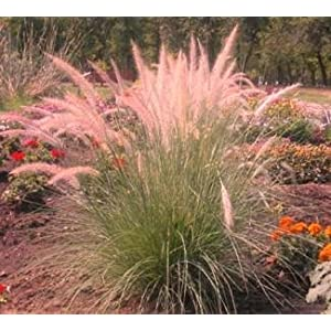 Pink Champagne Ornamental Grass 50 Seeds -RARE