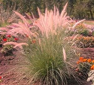 Pink champagne ornamental grass 50 seeds for Ornamental grass with red flowers