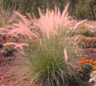 Pink champagne ornamental grass 50 seeds rare lawn nation for Ornamental grass with pink flowers