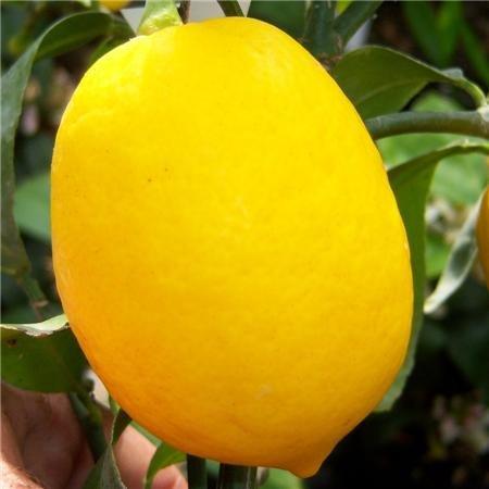 cross-common-nursery-citrus-lemon-tree-meyer