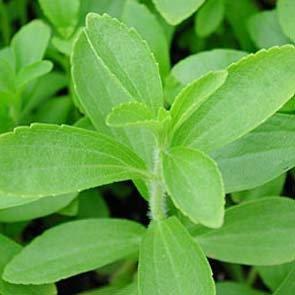 50 Stevia (Sweetleaf / Sweet Leaf / Sugarleaf) Stevia Rebaudiana Sugar Flower Herb Seeds