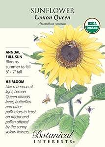 Sunflower - Lemon Queen