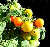 家庭用 野菜 の水耕栽培「窓際族」(窓辺でトマト)