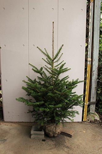 群馬県産 モミノキ 樹高1.2~1.4m 本物のクリスマスツリー 生産者直売 もみの木 モミの木