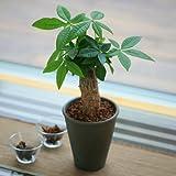 【送料無料】ミニパキラ4号陶器鉢植え【インテリアグリーン】【観葉植物】【誕生日】【お祝い】