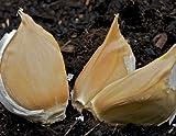 Allium ampeloprasum (Elephant garlic) 7 bulbs