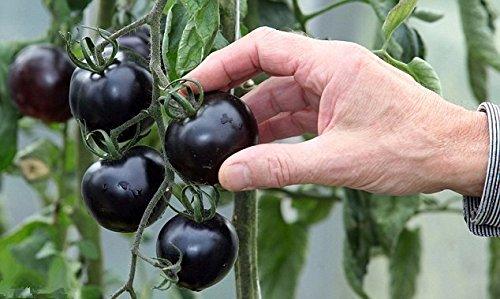 200pcs-nero-semi-di-pomodoro-frutta-e-verdura-s-piante-ornamentali-piantine-di-alberi
