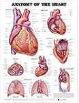 Anatomy Of The Heart Chart: (unmounted)