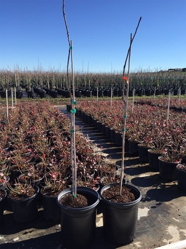 fruit-bearing-pistachio-two-trees-shipped-in-soil-kerman-and-peters