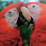 National Geographic Pair of Macaws Greetings Card