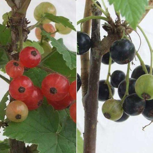 カシスの苗2種セット(赤房スグリ・黒房スグリ)4~5号ポット[家庭果樹に最適...