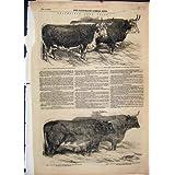 Impresión Antigua de la Novilla Premiada 1851 del Buey de Hereford del Ganado de Smithfield