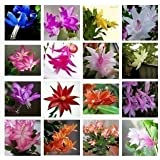 Zygocactus truncatus,Schlumbergera seeds,Indoor potted plants, green plants - 100 pcs seeds